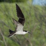 Sooty Tern (8)
