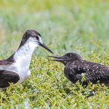 Sooty Tern (9)
