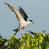 Sooty Tern (10)
