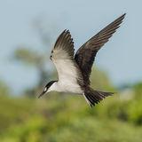 Sooty Tern (11)