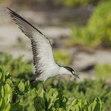 Sooty Tern (12)