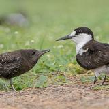 Sooty Tern (13)