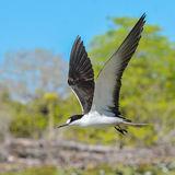 Sooty Tern (14)