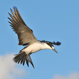 Sooty Tern (15)