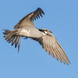 Sooty Tern (16)