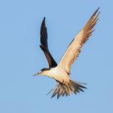 Sooty Tern (17)