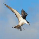 Sooty Tern (18)