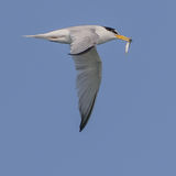 Little Tern (1)