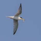Little Tern (2)