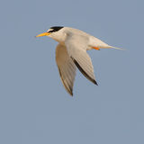 Little Tern (3)