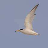 Little Tern (4)