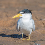 Yellow-billed Tern