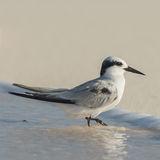 Saunders' Tern (1)