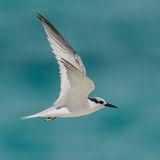 Saunders' Tern (2)