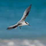 Saunders' Tern (3)