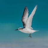 Saunders' Tern (4)