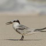 Saunders' Tern (5)