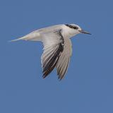 Saunders' Tern (6)