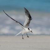 Saunders' Tern (7)