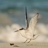 Saunders' Tern (8)