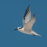 Saunders' Tern (9)