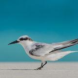 Saunders' Tern (10)