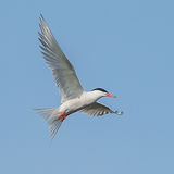 Common Tern (1)
