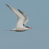 Common Tern (2)