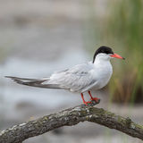 Common Tern (3)