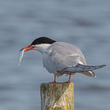 Common Tern (4)
