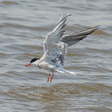 Common Tern (5)