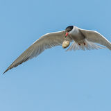 Common Tern (7)