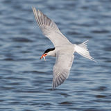 Common Tern (8)