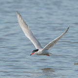 Common Tern (9)