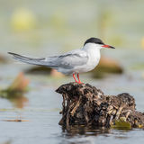 Common Tern (10)