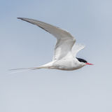 Arctic Tern (5)