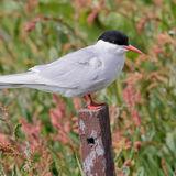 Arctic Tern (6)