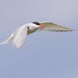Arctic Tern (7)