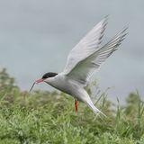 Arctic Tern (8)