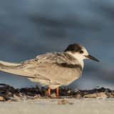 White-cheeked Tern (1)