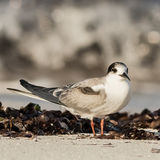 White-cheeked Tern (2)
