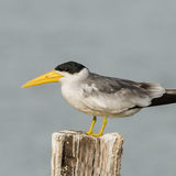Large-billed Tern (2)