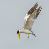 Large-billed Tern (4)