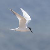 Gull-billed Tern (1)