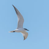 Gull-billed Tern (2)