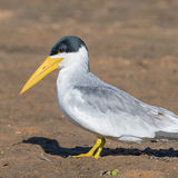 Large-billed Tern (7)