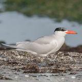 Caspian Tern (1)
