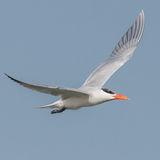 Caspian Tern (2)