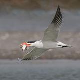 Caspian Tern (4)