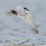 Whiskered Tern (2)